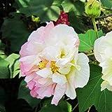 Yukio Samenhaus - 50 Stück Baumwollrose Hibiscus mutabilis Samen winterhart Blumenmeer für Ihr Garten,Balkon, Terassen, Bonsai