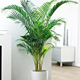 Greenish Valley Live Areca Palm Plant For Indoor Balcony,Outdoor