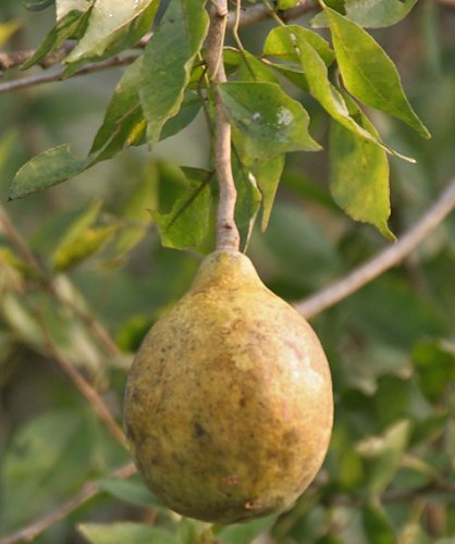 Aegle marvelos, Beal Bengal Quince Golden apple Stone apple, 20 graines
