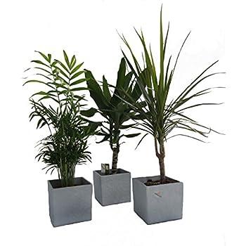 dominik blumen und pflanzen zimmerpflanzen palmen trio im. Black Bedroom Furniture Sets. Home Design Ideas