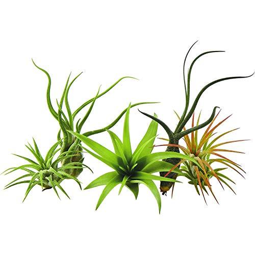 GEOPONICS Paquete 5 plantas raras Tillandsias planta