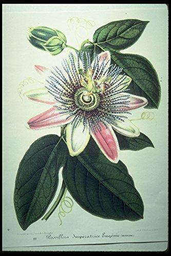 394058 Passiflora Imperatrice Eugenie A4 Photo Poster Print 10x8 - Imperatrice Eugenie