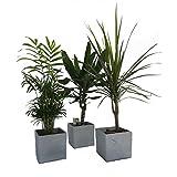 Zimmerpflanzen Groß suchergebnis auf amazon de für zimmerpflanzen groß garten