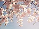 Pixblick - Kirschblüte im Frühling - Hochwertiges Wandbild - Material=Alu Dibond 160x120 cm