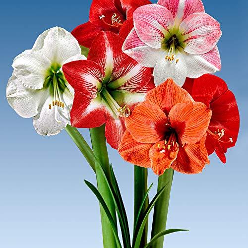Amaryllis Mischung-1 Pack. (5 St.)-Blumenzwiebeln
