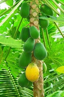 Papaya Melonenbaum süsse Früchte 10 Samen von exoticsamen Samenraritäten aus aller Welt bei Du und dein Garten