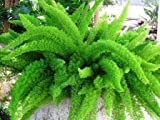 Large 'Myers' Asparagus Fern - Foxtail fern - Evergreen and easy care plant - Great for growing in planters and baskets - Stunning symmetrical look - Spring flowering and autumn berries provide year round interest - Delicate and soft needle style leaves - Easy care plant - An unusual yet wonderful plant for gardens, containers and hanging planters.