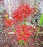 Fash Lady 2: 2 STÜCKE Wahre Lycoris Radiata Glühbirnen Bana Lampen (nicht samen) Topf Blumenzwiebel Indoor Bonsai Pflanze Für Hausgarten 2