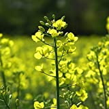 Graines de moutarde blanche engrais vert écologique naturel (15 grammes)