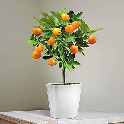Calamondin-Orange - 1 baum von Meingartenshop - Du und dein Garten