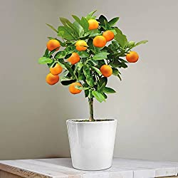 Calamondin-Orange - 1 baum