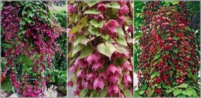 RWS Robe Rose, Rose Goblet 5 graines, Rhodochiton -Schöne fleurs de vigne Beaucoup de la première année