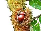 Esskastanie/Edelkastanie -Castanea sativa- 8 große Samen