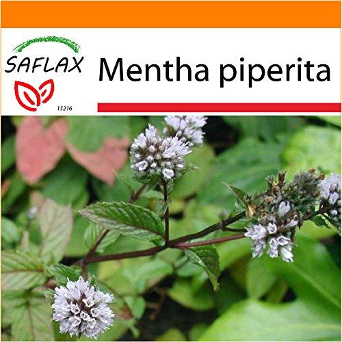 Galleria fotografica SAFLAX - Garden in the Bag - Menta piperita - 300 semi - Mentha piperita