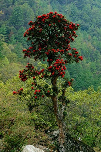 Portal Cool Rhododendron Arboreum - Ca. 50 Samen, Baum Rhododendron n West Bengal
