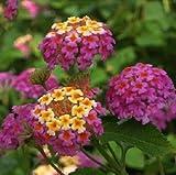 Portal Cool 20 Samen Lantana Camara Perennial Bonsai Blumen Rot, Gelb, Rosa Gartenpflanze