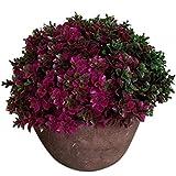 Artificial Planta Suerte Hojas de Hierba Bonsai Macetas de Flores Jardín Casa Decoración - Rojo