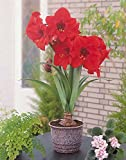 Willemse France 014130 Plante Amaryllis Multicolore 18 x 18 x 24 cm