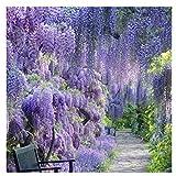 20 Semi/pack Semi di albero di Wieteria, piante rampicanti Bonsai giardino di casa decorazione floreale (Blu)