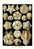 Tafel 80 - Knospensterne - aus: Ernst Haeckel - Kunstformen der Natur, 1900 - Nachdruck einer Illustrations-Tafel