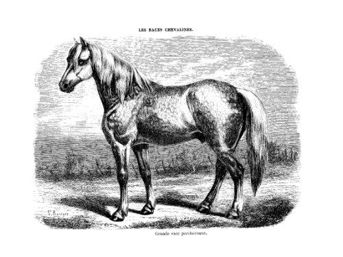 Les races chevalines - Gravure Cheval grande race Percheronne