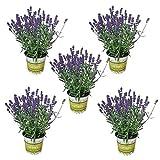 5 Lavendel-Pflanzen im Set/frische Pflanzen in bester Gärtnerqualität/robuste Kräuterpflanzen im 12 cm Topf/Duftpflanze