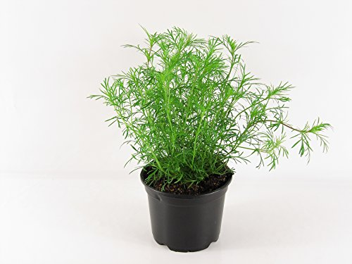 Lakritz-Tagetes, Frische Lakritz Pflanze (Tagetes filifolia)