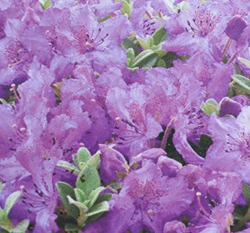 gardenexpert-16104-rhododendron-dwarf-calostrotum-keleticum-plant-in-15-cm-pot-green