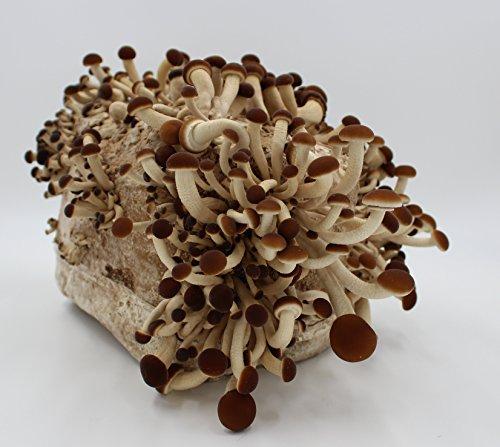 pioppino pilzzuchtkultur pilze selber z chten gem se. Black Bedroom Furniture Sets. Home Design Ideas