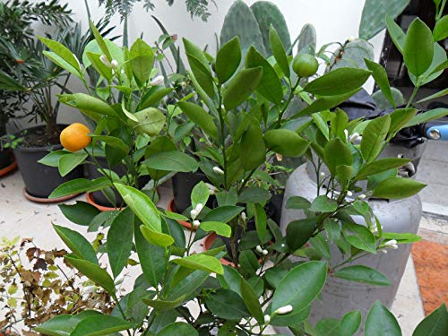 PLAT FIRM GERMINATIONSAMEN: Seltene Samen * Zwerg Everbearing Calamondin - Citrus Mitis - Panama Orange - 3 Samen