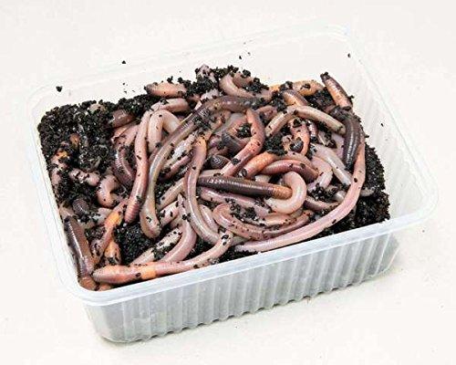 Kanadische Tauwürmer, Angelköder, Kunststoffschale 50 Stück