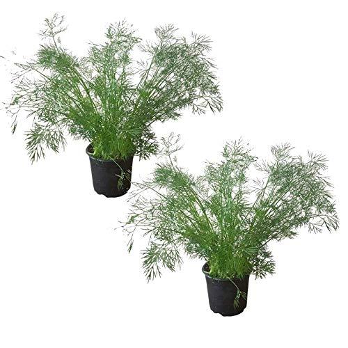 2 Dill Gewürzpflanzen im Topf - ...