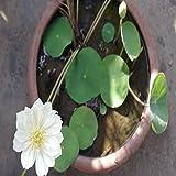 Kayi Lotus Samen Wasserlilie gemischte Farben Lotus Samen Pflanzen Haus Garten Pflanzung DIY Gartenarbeit, weiß, 10 pcs