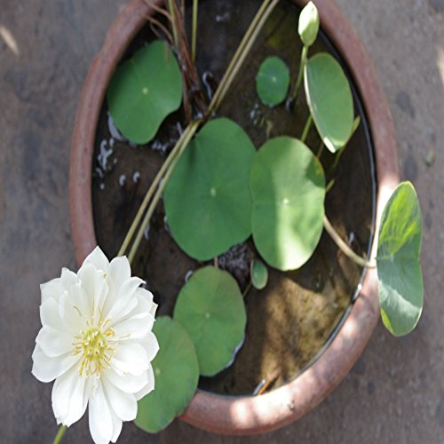 KAYI Lotus Graines Nénuphar Couleurs Mélangées Lotus Plant Graines Accueil Jardin Plantation DIY Jardinage 100 pcs Blanc