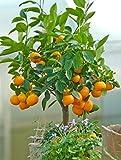 Calamondin-Orange, Mandarinen-Busch 1 Pflanze - zu dem Artikel bekommen Sie gratis ein Paar Handschuhe für die Gartenarbeit dazu