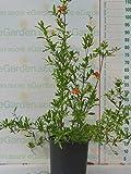 pianta vera di Melograno a cespuglio (Punica Granatum) varietà wonderful v24