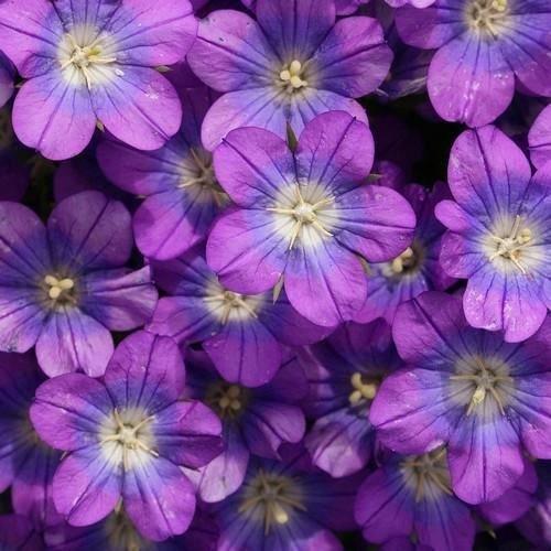 Venus Spiegel Blau Bodendecker Samen (Legousia Speculum) 200 + Seeds
