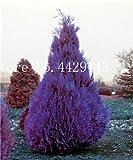 IDEA HIGH Samen-Garten Topfpflanze 30 Stück seltene blaue Zypresse Bonsai-Baum, Bonsai für Blumentopf Pflanzgefäße: 6