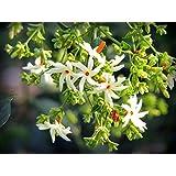 Nelesa Gardenng Live Coral Jasmine Night Flowering Parijat Plant