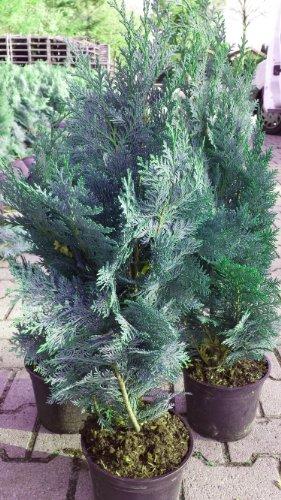 blaue Scheinzypresse Chamaecyparis lawsoniana Columnaris Glauca 60 cm hoch im 3 Liter Pflanzcontainer