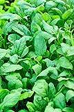 Semi di spinaci Nuova Zelanda -...