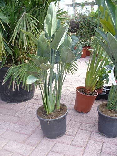 Paradiesvogelblume, Strelitziengewächs, Strelitzia reginae im Topf 105-110 cm, strelizie Pflanze