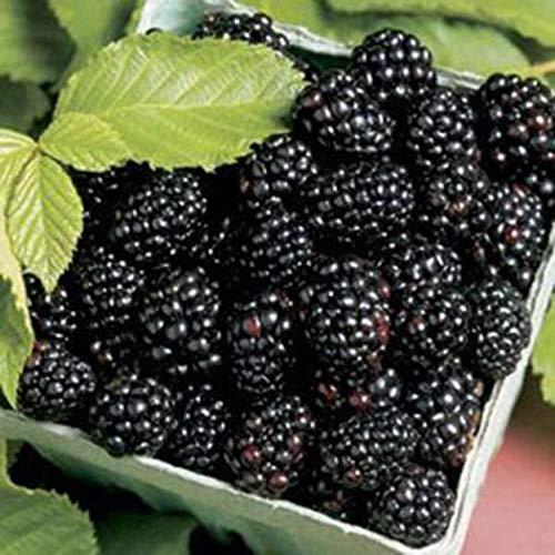 Cioler 100 Stück Brombeere Samen Blackberry Seeds Süße schwarze Berry Obstsamen Strauch Frucht mehrjährig winterhart für Garten Balkon/Terrasse