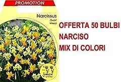Idea Regalo - OFFERTA 50 BULBI NARCISI DWARF MIX DI COLORI BULBS BULBES