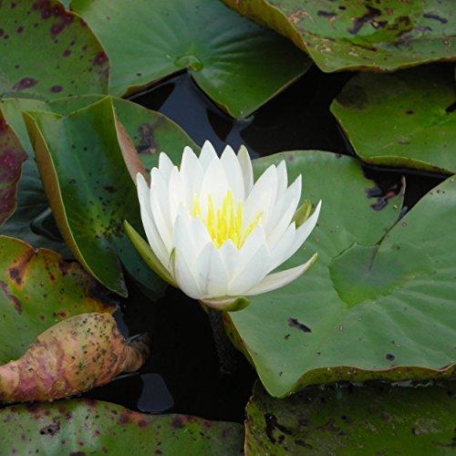 Blumixx Stauden Nymphaea Hybride 'Caroliniana Nivea' - Seerose 1,0 Liter Topf elfenbeinweiß blühend