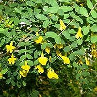 Farmerly Siberiano guisante árbol Caragana arborescens 20 semillas