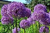 Riesen Zierlauch 'Globemaster' 10 Samen (Allium Giganteum)