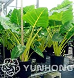 AGROBITS 100PCS Paquet Heirloom Alocasia macrorrhiza Bonsai Green Giant Taro Flower Garden plante Elephant oreilles Vente de plantes d'intérieur Bonsai