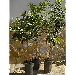 Citrusbäume 3er/Set - Zitronen-, Mandarinen- und Orangenbaum