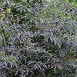 Shop Meeko 2: Sambucus Nigra Black Lace da Sycamore Trading. Una cultivar Introdotto Recentemente del Nostro Elder Nativo. (2)